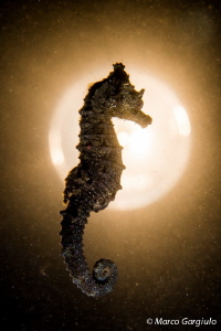 Mediterranean SeaHorse over the moon by Marco Gargiulo